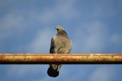 Paloma salvaje que se sienta en una barra de metal que tiene como fondo el cielo casi claro Foto de archivo
