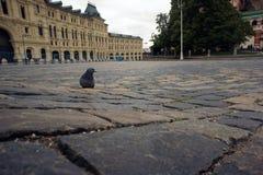 Paloma sola en el cuadrado rojo en Moscú Fotografía de archivo