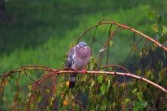 Paloma sola en la lluvia Foto de archivo libre de regalías