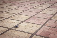 Paloma sola en la tierra simétrica Fotografía de archivo
