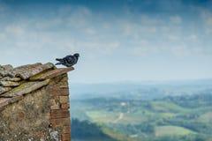 Paloma solitaria en esquina de un tejado Imagen de archivo libre de regalías