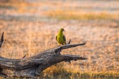Paloma verde africana Fotos de archivo