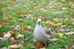 Paloma. White swedish dove in the meadow Royalty Free Stock Images