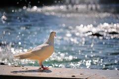 Paloma y agua del blanco Foto de archivo