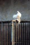 Paloma y jaula del blanco Imagenes de archivo
