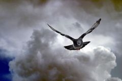 Paloma y nubes_1662. Pigeon flying between storm clouds stock photos