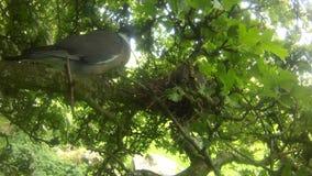 Paloma y polluelos en árbol en el Reino Unido almacen de video