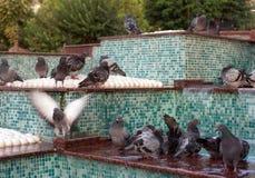 palomas Foto de archivo libre de regalías