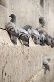 palomas imágenes de archivo libres de regalías