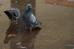 palomas Fotografía de archivo libre de regalías