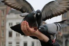 palomas Imagenes de archivo