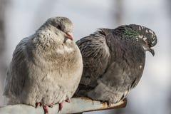 palomas Fotos de archivo
