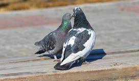 palomas Foto de archivo