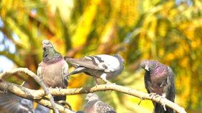 Palomas animales de los pájaros en árbol almacen de metraje de vídeo