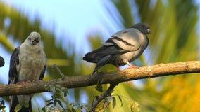 Palomas animales de los pájaros en árbol almacen de video