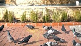 Palomas animales del pájaro almacen de video