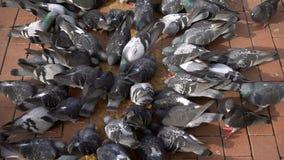 Palomas animales del pájaro metrajes