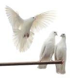 Palomas blancas Imagen de archivo libre de regalías