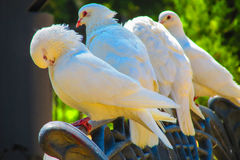 Palomas blancas Foto de archivo