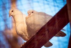 Palomas blancas Fotografía de archivo libre de regalías