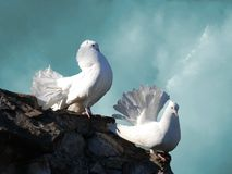 Palomas blancas fotografía de archivo