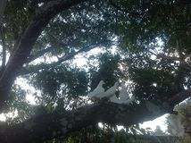 Palomas blancas Foto de archivo libre de regalías