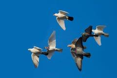 Palomas blancas en el cielo azul Imagenes de archivo