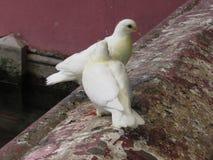 Palomas blancas en la pagoda en Saigon Imágenes de archivo libres de regalías