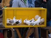 Palomas blancas en una jaula Imagenes de archivo