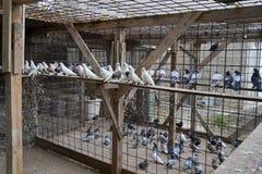 Palomas blancas y grises Imagen de archivo