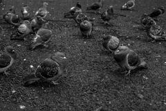 Palomas blancos y negros que se sientan en el hormigón Imagen de archivo