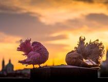Palomas coloreadas hermosas de las cotorras rizadas Imagen de archivo