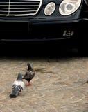 Palomas contra el coche Imagenes de archivo