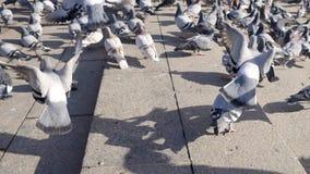 Palomas de la ciudad que luchan para el pedazo de pan en la plaza principal de la ciudad existencias Una multitud de palomas en e almacen de metraje de vídeo