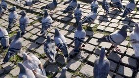 Palomas de la ciudad que luchan para el pedazo de pan en la plaza principal de la ciudad existencias Una multitud de palomas en e metrajes