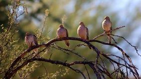 Palomas de la mañana Imagen de archivo