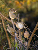 Palomas de luto en ramas Imagen de archivo
