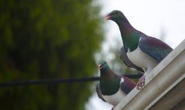 Palomas de madera de Nueva Zelanda Foto de archivo