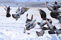 Palomas del aterrizaje suave Fotografía de archivo libre de regalías