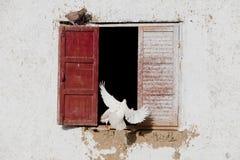 Palomas del pájaro Fotografía de archivo