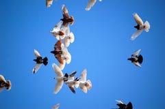 Palomas del vuelo Imágenes de archivo libres de regalías