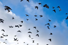 Palomas del vuelo delante de un cielo azul Fotografía de archivo libre de regalías