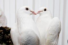 Palomas en amor Foto de archivo