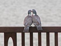 Palomas en amor Imagen de archivo libre de regalías