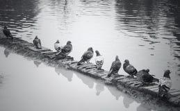 Palomas en blanco y negro Fotografía de archivo libre de regalías