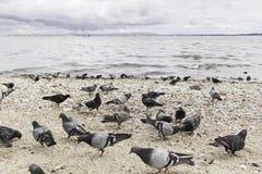 Palomas en costa Imagenes de archivo