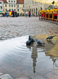 Palomas en cuadrado del ayuntamiento. Ciudad vieja. Tallinn, Fotografía de archivo