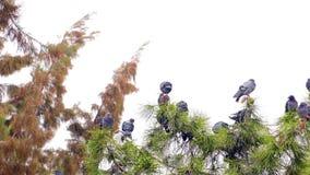 Palomas en el árbol almacen de metraje de vídeo