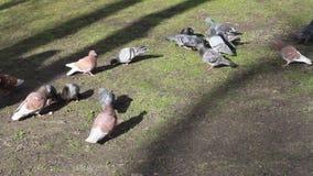 Palomas en el parque almacen de metraje de vídeo