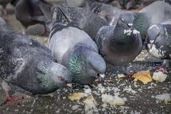 Palomas en el parque que comen las migas de pan Imagen de archivo